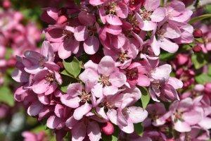Zierapfel in rosa